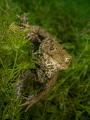 Toad ( Erdkröte) Bufo bufo