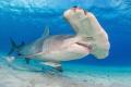 Great Hammerhead - Bahamas Bimini
