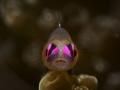 Pink eye goby - Bryaninops natans