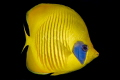 Massked Butterfly fish