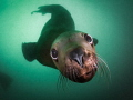 Sea Lion Smooch - A Steller sea lion in the waters off of Vancouver Island, British Columbia