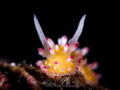 C A N D Y (Cadlinella ornatissima)