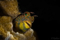 Tesselated Blenny (Hypsoblennius invemar)