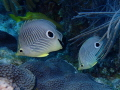 A pair of Four Eyed Angelfish in the waters of Looe Key Reef  Florida
