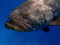 Goliath Grouper Portrait  Looe Key