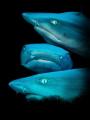 sharkface