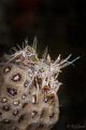 Spiny Tiger Shrimp  Phyllognathia ceratophthalmus