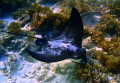 This eagle ray came when we were at snorkeling close to the shore. Natural light no strobes. Depth 3 4 meters.