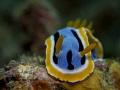 Nudibranch Anna s chromodoris