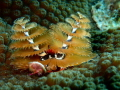 Christmas Tree Worm in the waters of the Looe Key National Marine Sanctuary. Olympus TG 4