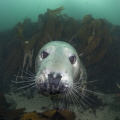 Look into my Eyes - Grey Seal UK/Farne Islands
