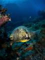 The Puffster ... !  Map Pufferfish - Arothron mappa  Sail Rock, Thailand