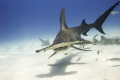 Hammerhead sharks in The Bahamas. Shot this amazing animals with my nikon d800, ikelite housing. There is nothing better than the clystar clear water in the caribbean, but in Bimini that is something else. As for the hammerheads I'm speechles
