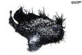 Black-scatter-anglerfish take III easy to create these images when non expert divers kick the hi-reflective sand all around... the white point is simply selected on the sand in the curve tool...
