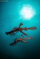 Morning Ghosts (Ghost Pipefish)