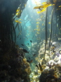 Diversity in a Kelp forest