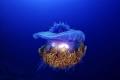 UFO. Jelly fish . Maldive Bandhos Island Nikon D800E, 60 mm nmacro ISO100;F11;1/125