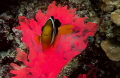 Glowing anemone and clownfish. Taken in the Maldives at about 15m using a canon 600d and a polaroid housing.