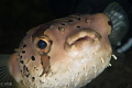 Long-spined porcupinefish.