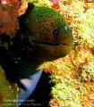 Moray eel Pointe Aux Canoniers,Mauritius