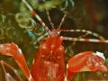 Red Snapping Shrimp (Alpheus armatus)