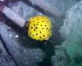 Yellow Boxfish Pipeline Pt Stevens