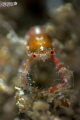 Squat lobster in a sponge. taken with a 20mm reversed 5:1 reproduction ratio