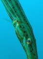 Trompet fish look