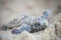 H E L L O . W O R L D  Happy World Turtle Day Baby Hawksbill sea turtle (Eretmochelys imbricata) Perhentian Island (KT), Malaysia. May 2015