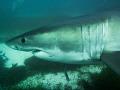 Great White Shark  Neptune Islands South Australia. No strobe  wide angle. Olympus OMD EM5 in Olympus housing.