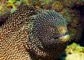 Moray Eel/Muraenidae Mauritius Trou Aux Biches Jean Yves Bignoux Canon 7D Ikelite housing DS160 Strobe flash Tamron 60mm macro SP2