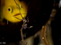 A yellow lemon goby looking at a skeleton shrimp