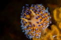 Gasflame nudibranch  photographed at Noble Reef  Gordon s Bay  South Africa.  Canon 7dmkii  Canon 60mm macro lense  Dual Sea   Sea YS D1 strobes.