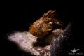 Tiny Smoothskin Scorpion Fish  Ark Rock  Simon s Town South Africa.  The first I ve ever seen in 16 years of diving   Not often seen.  Canon 7dmkii  60mm macro lense  Retra LSD snoot
