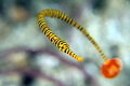 Pipefish move always around. Here I was lucky to get the focus just right on the head.