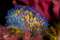 Gasflame A vibrant gasflame nudibranch at Noble Reef  Gordon s Bay.  Canon 7dmkii  60mm macro lense with  7 dioptre  2 x Sea   Sea YS D1 strobes