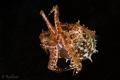 Tiny Crinoid Cuttlefish
