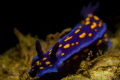 Golden Spots. This California blue doris nudibranch is a signature species for southern California s Channel Islands. Shot with a canon t4i in Ike housing with a snooted DS 51 strobe and 100mm f/2.8 macro lens.