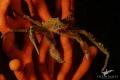 Hotlips Spider Crab on Sinuous Sea Fan.  Canon 7dmkii  Canon 60mm macro lense  2 x YS D1 Strobes