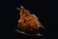 Frog fish Lembeh strait. Nikon D800E  105 macro   snoot