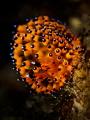 Redonkulous ...    Nudibranch   Janolus sp.  Bali  Indonisia