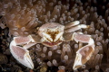 Anemone crab with eggs