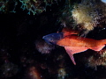 Red triplefin blenny staying upside down on a rock