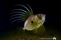 John dory by night
