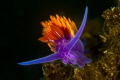 Color. A Spanish Shawl nudibranch brightens the reefs at Anacapa Island. Shot with a Canon t4i and 100mm f/2.8 lens in Ike housing with dual DS51 strobes.
