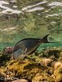 surgeon fish (acanthurus sohal)