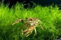 A shrimp in Cornino lake, Italy