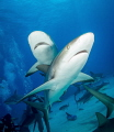 This shark picture just makes me want to listen to the Jimmy Buffett Song,