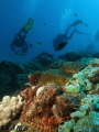 Scorpion fish hides while divers look for critters on the reef
