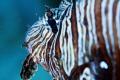 Pointe aux Piments,Mauritius 20m Scorpionfish Jean-Yves Bignoux